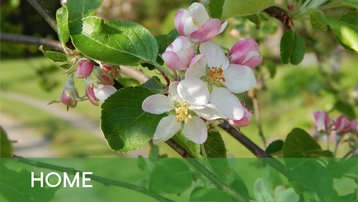 Home - Apple flowers