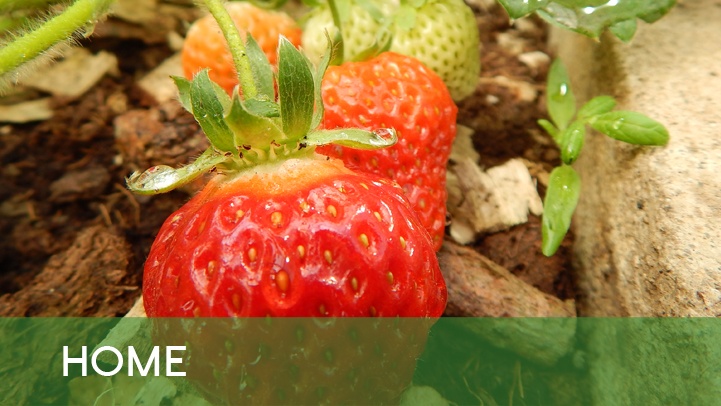Home - strawberries outside