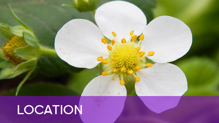Location - white strawberry flower